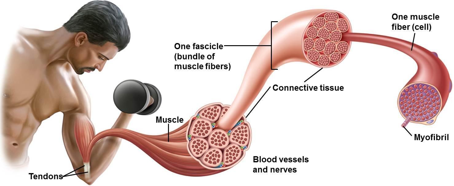 Sarcomere หน่วยเล็กๆ ของกล้ามเนื้อ และสิ่งควรรู้